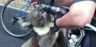 urs koala australia
