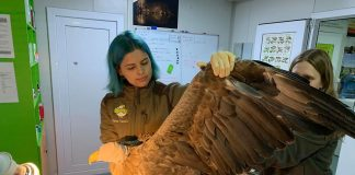 codalb/white-tailed eagle, injured bird rescued by ornithologists, ngo Luana's Dream, Facebook.