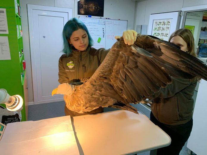 codalb/white-tailed eagle, injured bird rescued by ornithologists, ngo Luana's Dream, Facebook.