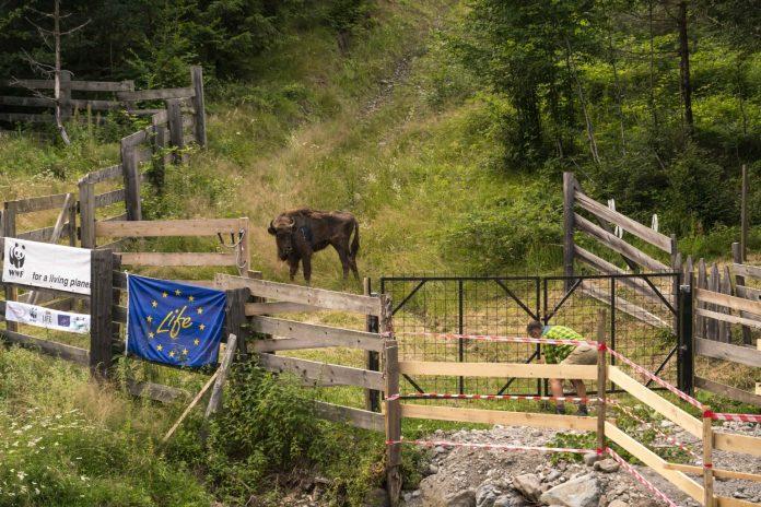 WWF Romania zimbri/bisons
