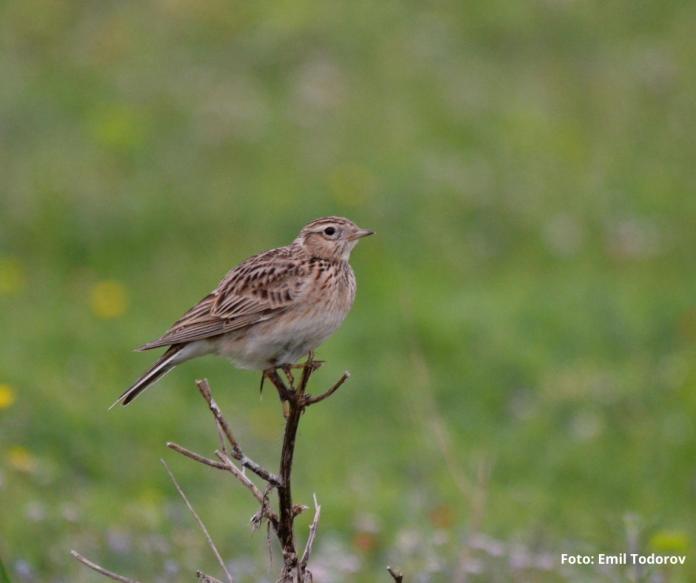 Romanian Ornithological Society, foto Emil Todorov