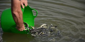 Baby sturgeon released into the Danube, stureoni mici eliberati in Dunare, WWF-Romania