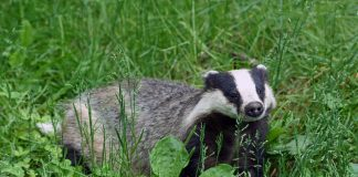 European badger/bursuc european-Wikipedia