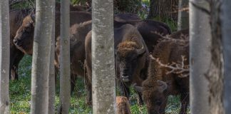 zimbri/bison Foundation Conservation Carpathia (FCC), Calin Serban