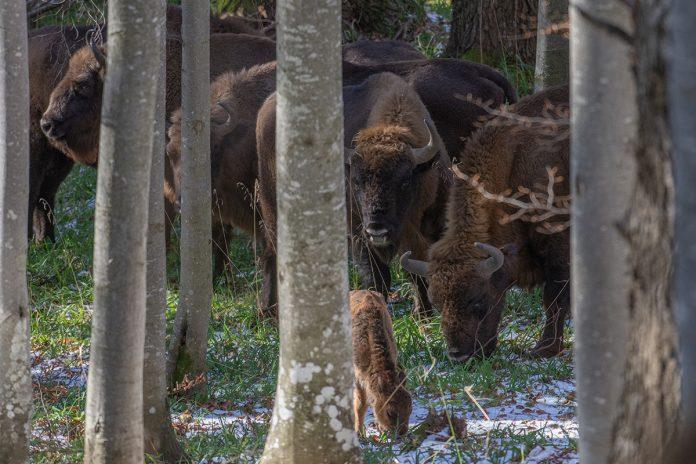 zimbri/bison Foundation Conservation Carpathia (FCC), Calin Serban