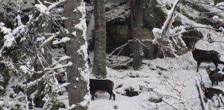 capra neagra Retezat Parc National, Romsilva, Facebook